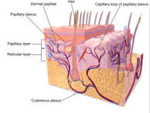 jelaskan struktur kulit
